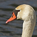 Swan by John Angus