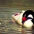 Swan by Karen Fones