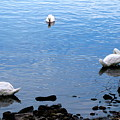 Swan Lake by Colleen Kammerer