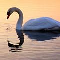 Swan Lake by Joe  Ng
