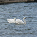 Swan Lake by Rose Dellinger