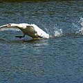 Swan Landing 2 by Maria Keady