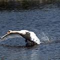 Swan Landing 3 by Maria Keady
