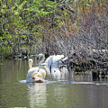 Swan Life by Don Lonergan