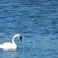 Swan by Lisa Cassinari
