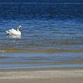 Swan by Marta Grabska-Press