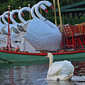 Swan Meeting Up With Some Friends by Toby McGuire