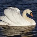 Swan by Michal Boubin