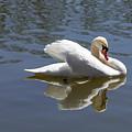 Swan by Nancy Comley