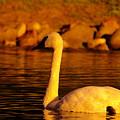 Swan Near Sundown by Jeff Swan