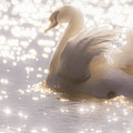 Swan Of The Glittery Early Evening by Will Bailey