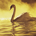 Swan On Gold by Brent Black - Printscapes
