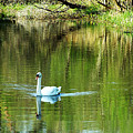 Swan On The Cong River Cong Ireland by Teresa Mucha