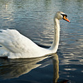 Swan On The Run by Douglas Barnett