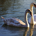 Swan Pair In The Sun by Jeremy Hayden
