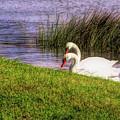Swan Pair Warm Color by Rosalie Scanlon
