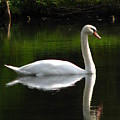 Swan Reflected by Jeff White