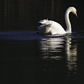 Swan Reflected by Jeremy Hayden