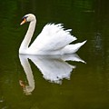 Swan Reflecting by Richard Bryce and Family