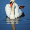 Swan Reflection by Karol Livote