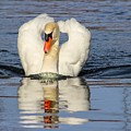 Swan Reflection by Tonya Peters