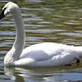 Swan by Shelley Wilson