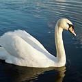 Swan Strutting by Douglas Barnett