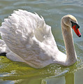 Swan Swimming By by Carol Groenen