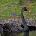 Swan Swimming by Pamela Walton