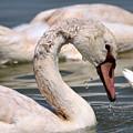 Swan by Taras Bekhta