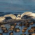 Swan Wings Reach by Patti Deters