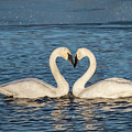 Swan Heart by Patti Deters