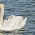 Mute Swan With Babies On Its Back by CJ Park