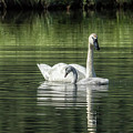 Swan With Cygnet by Belinda Greb