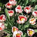 Swanhurst Tulips by Jolanta Anna Karolska