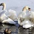 Swans And Duck by Mike Batson Photography