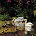 Swans And Signets by Neil Doren