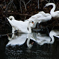 Swans And Snow Geese by Ches Black