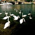 Swans by Ariane Moshayedi