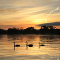 Swans At Dawn by Anthony Croke