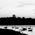 Swans At Sunset by Jeff Singer