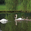 Swans At Two Months by Steve  Gass
