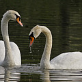 Swans Courtship by Sherry Butts