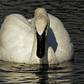 Swans Grace by Sue Harper