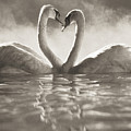Swans In Lake by Brent Black - Printscapes