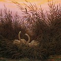 Swans In The Reeds At Dawn by Caspar David Friedrich