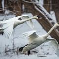 Swans Landing by Paul Freidlund