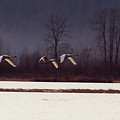Swans Over The Marsh by Sharon Talson