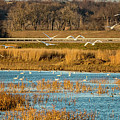 Swans Returning To The Roost At Riverlands 7r2_dsc3855_12202017 by Greg Kluempers