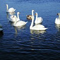 Swans Sligo Ireland by Louise Macarthur Art and Photography